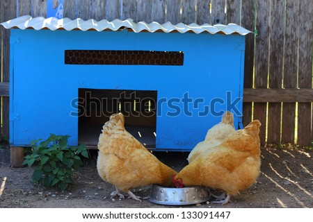 A blue chicken coop with three chickens eating out of a bowl - stock photo