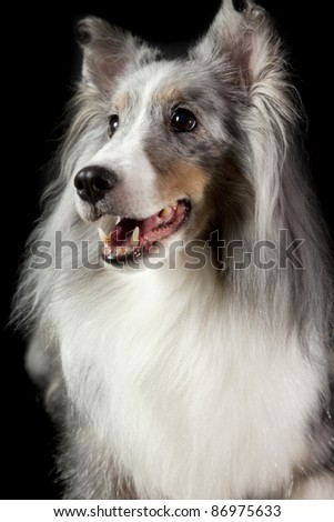 a blue collie dog smiling for camera isolated on a black background - stock photo