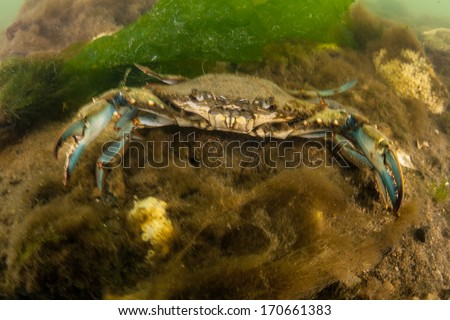 A Blue crab (Callinectes sapidus) is a species of crustacean native to the western Atlantic Ocean. This crab is of culinary and economic importance in the U.S., especially in the Chesapeake Bay. - stock photo