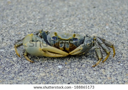 A Blue Crab Scurries Across Pavement in the Florida Keys - stock photo