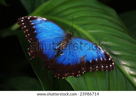 A blue morpho butterfly on a green leaf.  Latin name Morpho Peleides - stock photo