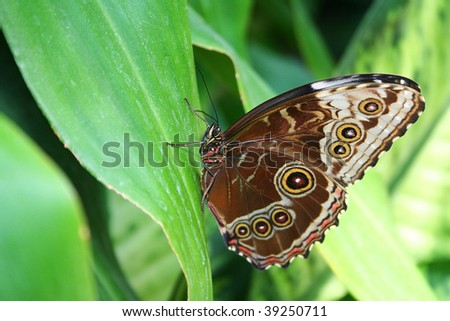 a blue morpho butterfly resting on a leaf - stock photo