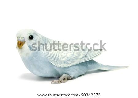a blue parakeet breeding isolated on a white background - stock photo