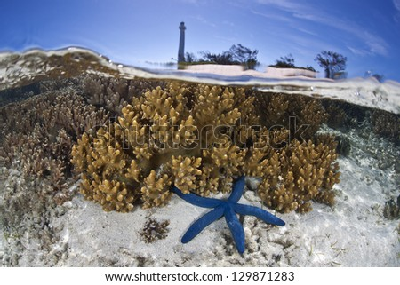 A blue seastar (Linkia laevigata) crawls across the shallow sandy bottom of a reef fringing Amadee Island, just off New Caledonia in the South Pacific Ocean. - stock photo