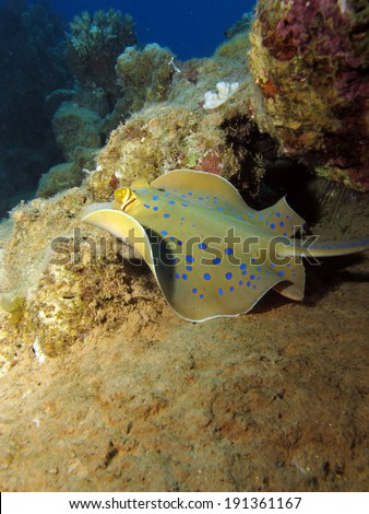 A blue spotted stingray swimming over sand and reef - stock photo