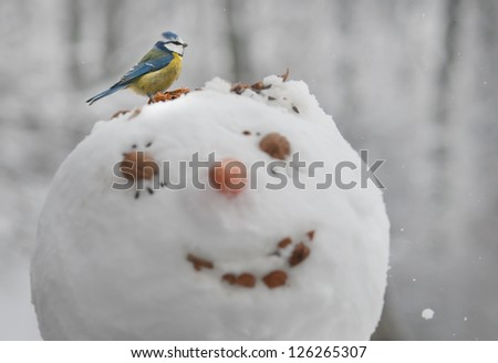 A blue tit (Cyanistes caeruleus) is eating seeds from a head of a snowman - stock photo