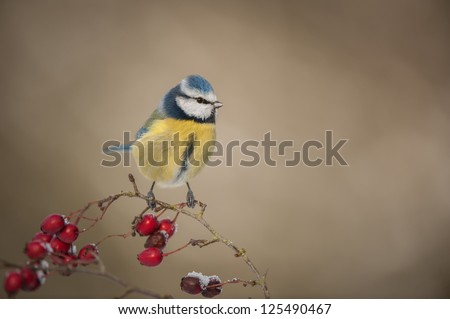 A Blue Tit in winter; perched on a hawthorn branch with red berries covered in a light dusting of snow. - stock photo