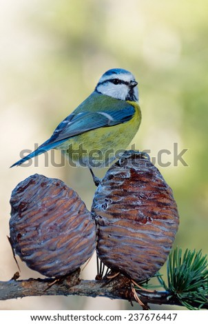 A blue tit sitting on some cedar cones - stock photo