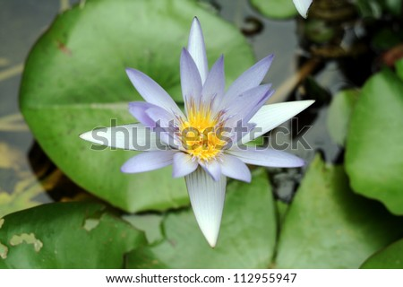 A blue water lily flower in a pond. - stock photo
