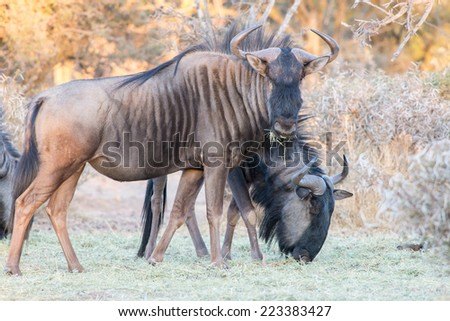A Blue Wildebeest looks up while feeding - stock photo