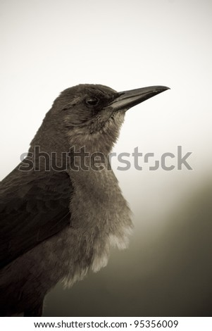 A boat-tailes grackle in the Everglads National Park (sepia). - stock photo
