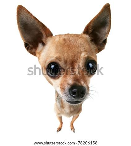 a bobblehead chihuahua - stock photo
