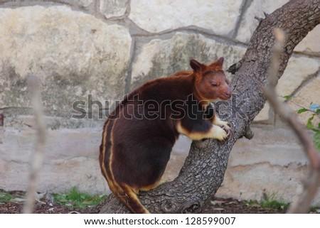A body view of a Goodfellow s tree kangaroo, Dendrolagus goodfellowi - stock photo