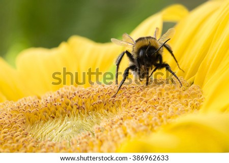 A bold bumble bee on a fresh, yellow sunflower harvesting the nectar from the flower. Horizontal format. - stock photo