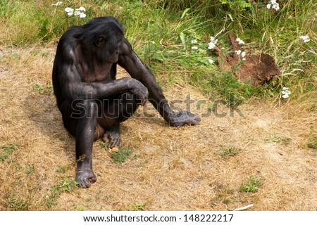A Bonobo sitting in the grass - stock photo