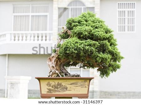 A bonsai of banyan , in  pot - stock photo