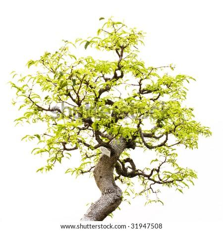 A bonsai of banyan , no  pot - stock photo