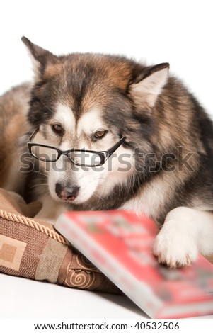 A bookworm husky - stock photo