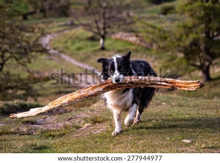 A Border Collie carrying a large stick - stock photo