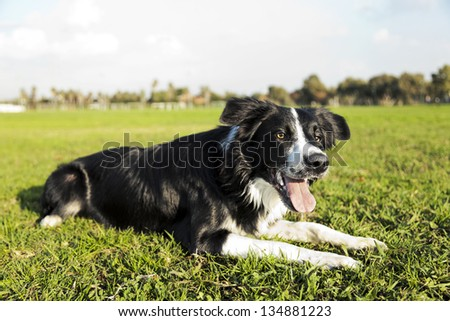A border Collie dog sitting on the grass at the park, concentrated on something off frame. - stock photo