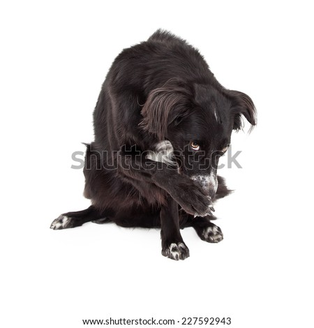A Border Collie Mix Breed Dog Looking looking guilty with paw over face and looking upwards - stock photo