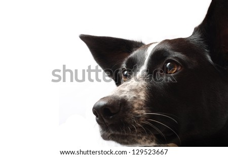 A Border Collie Staring Intensely - stock photo
