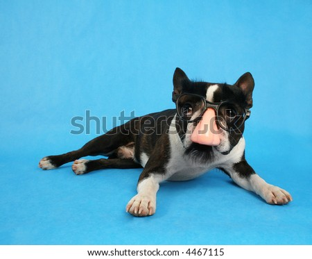 a boston terrier dressed up as groucho marx - stock photo