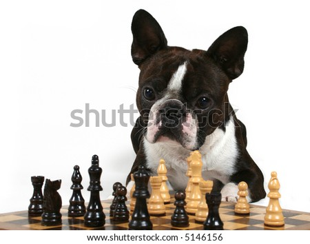 a boston terrier playing a game of chess - stock photo