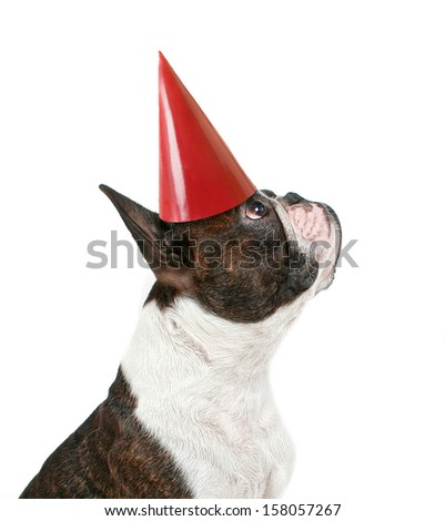 a boston terrier with a party hat on - stock photo