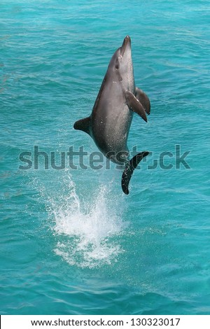 A bottlenose dolphin leaping out of the blue water in joy - stock photo
