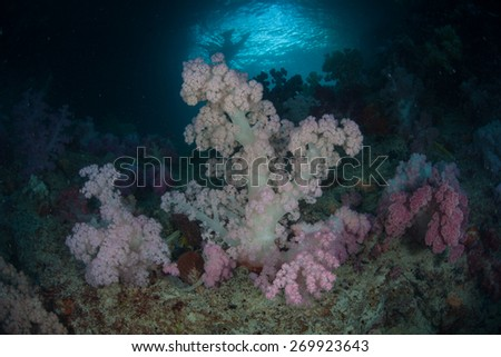 A bouquet of soft corals thrive in Palau's inner lagoon at Soft Coral Arch. This beautiful Micronesian island nation is known for its high marine biodiversity and excellent diving and snorkeling. - stock photo