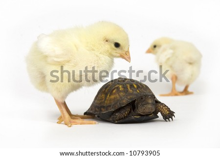A box turtle and a yellow baby chick on a white background - stock photo