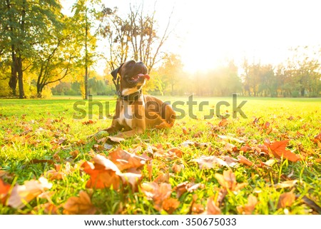 A boxer dog relaxing the the autumn sun in the forest. - stock photo