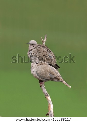 A brace of collared dove, perched on a twig - stock photo