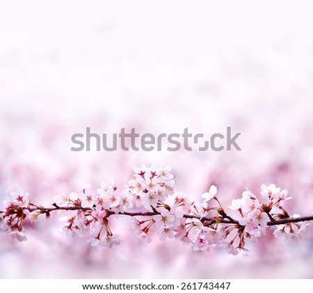 A branch of cherry blossoms with plenty of copy space. A straight branch of cherry blossom with beautiful pastel pink background. Shallow depth of field. - stock photo