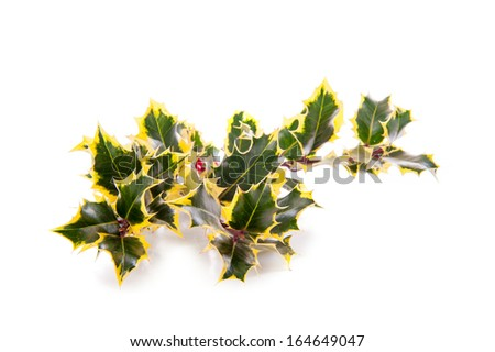 a branch of holly, for Christmas, on a white background - stock photo