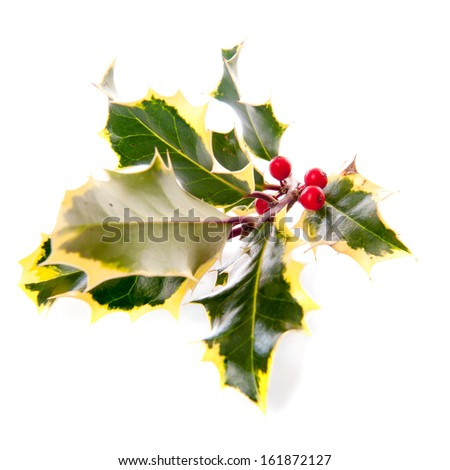 a branch of holly from above, for Christmas, on a white background - stock photo