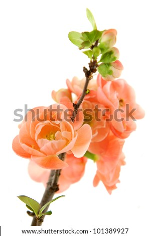 A branch of pink plum blossoms - stock photo