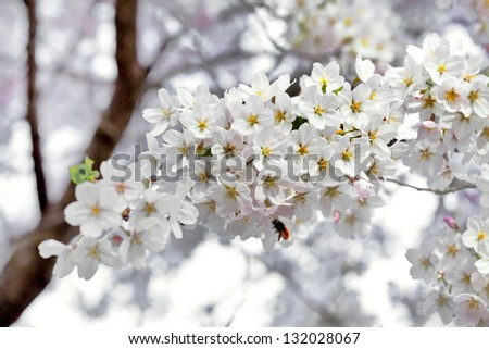 A branch of the cherry blossoms. Spring landscape. - stock photo