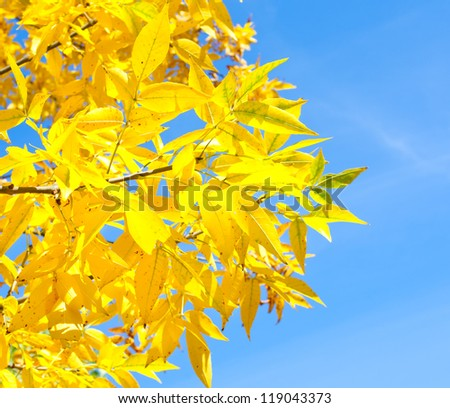A branch of tree with yellow leaves - stock photo