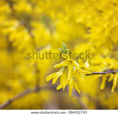 A branch of yellow forsythia flowers in early May - stock photo