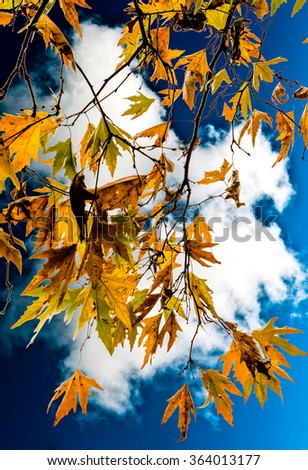 A branchs of autumn leaves against the dark blue sky - stock photo