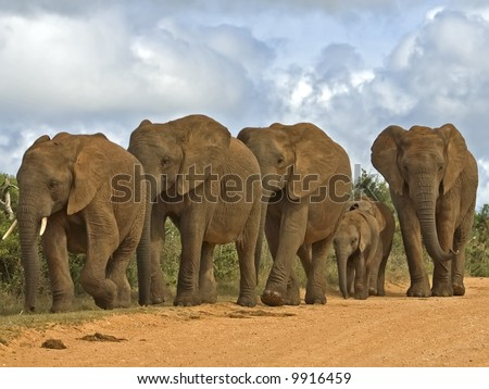 A Breeding herd of Elephant can be very dangerous - stock photo
