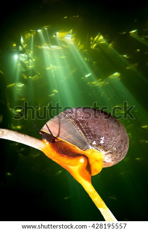 A bright orange Norris top snail crawls on a kelp stalk while sunshine pierces the kelp canopy, creating a dramatic backdrop   - stock photo