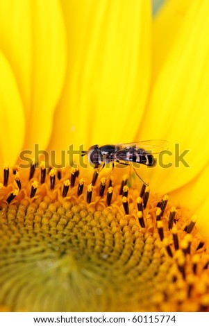a bright sunflower with a small insect - stock photo