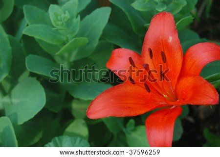 A brilliant orange lily with a background of succulent sedum - stock photo