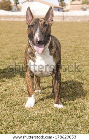 A brindle bull terrier posing head on for his picture on the lawn at the park - stock photo