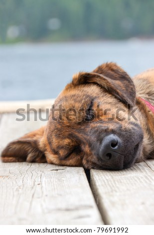 A brindled Plott hound puppy on a dock - stock photo