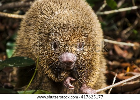 A Bristle-spined porcupine (Chaetomys subspinosus) looks into the camera holding a branch. - stock photo