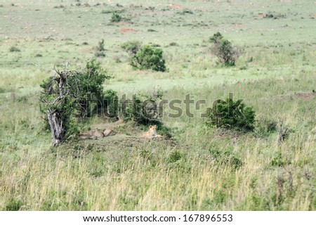 A broad view of lion habitat. Lion resting in group - stock photo